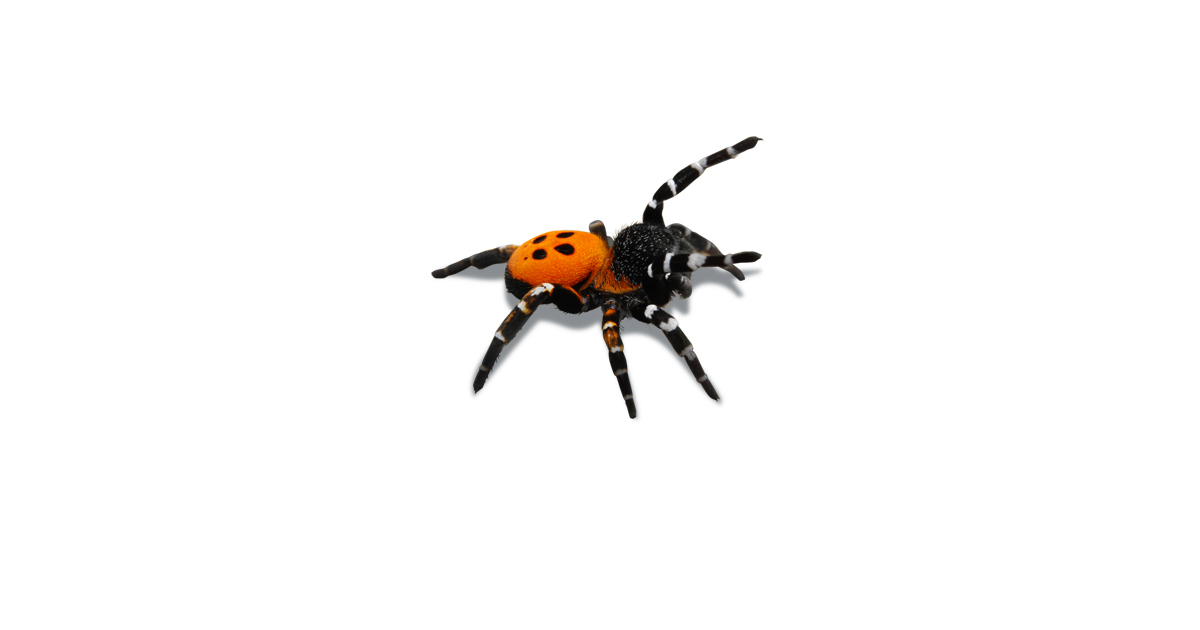 image of male ladybird spider